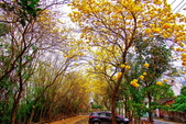 彰化縣---二水鄉:豐柏廣場2015黃花風鈴木盛開12