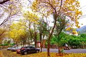 彰化縣---二水鄉:豐柏廣場2015黃花風鈴木盛開13