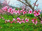 新竹縣---五峰鄉:玉峰道路私人桃花園盛開