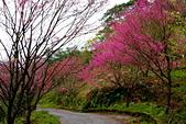 三峽賞櫻超級秘境B區:2014三峽超級賞櫻秘境B區20