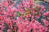 三峽賞櫻超級秘境A區:2015年開到爆炸美到翻116