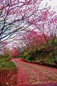 三峽賞櫻超級秘境B區:2015霧裡看花花還是花30