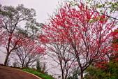 三峽賞櫻超級秘境B區:2015霧裡看花花還是花10