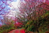 三峽賞櫻超級秘境B區:2015霧裡看花花還是花32