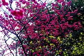 桃園市---楊梅區:回善寺櫻花美景9