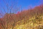 楊梅超級神秘櫻花林:2015年櫻花林隨拍15