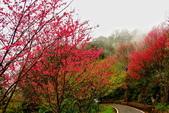 三峽賞櫻超級秘境B區:2015霧裡看花花還是花4