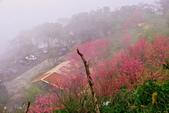 三峽賞櫻超級秘境B區:2015霧裡看花花還是花100