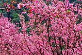 三峽賞櫻超級秘境A區:2015年開到爆炸美到翻112