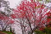 三峽賞櫻超級秘境B區:2015霧裡看花花還是花11