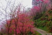 三峽賞櫻超級秘境B區:2015霧裡看花花還是花104