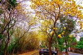 彰化縣---二水鄉:豐柏廣場2015黃花風鈴木盛開11