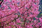 三峽賞櫻超級秘境A區:2015年開到爆炸美到翻12