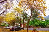 彰化縣---二水鄉:豐柏廣場2015黃花風鈴木盛開18