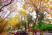 彰化縣---二水鄉:豐柏廣場2015黃花風鈴木盛開20