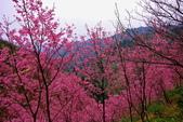 三峽賞櫻超級秘境A區:2015年開到爆炸美到翻19