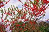 三峽賞櫻超級秘境B區:2015霧裡看花花還是花139