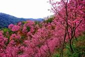 三峽賞櫻超級秘境A區:2015年開到爆炸美到翻64