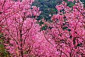 三峽賞櫻超級秘境A區:2015年開到爆炸美到翻122