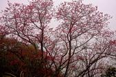 三峽賞櫻超級秘境B區:2015霧裡看花花還是花7
