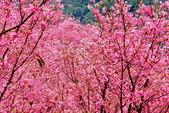 三峽賞櫻超級秘境A區:2015年開到爆炸美到翻145