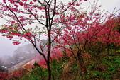 三峽賞櫻超級秘境B區:2015霧裡看花花還是花89