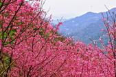 三峽賞櫻超級秘境A區:2015年開到爆炸美到翻147