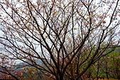 三峽賞櫻超級秘境A區:2014三峽超級賞櫻秘境A區44