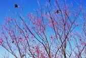 楊梅超級神秘櫻花林:2015年櫻花林隨拍1