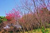 楊梅超級神秘櫻花林:2015年櫻花林隨拍3