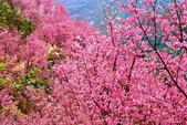 三峽賞櫻超級秘境A區:2015年開到爆炸美到翻149
