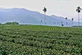 南投縣---竹山鎮:山坪頂金萱茶專業產區