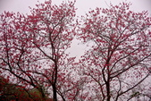 三峽賞櫻超級秘境B區:2015霧裡看花花還是花8