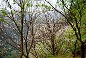 三峽賞櫻超級秘境A區:2014三峽超級賞櫻秘境A區45