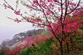 三峽賞櫻超級秘境B區:2015霧裡看花花還是花92