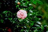茶花之美:2013坪林粗石斛茶花園10