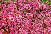 三峽賞櫻超級秘境A區:2015年開到爆炸美到翻104