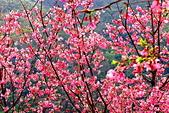 三峽賞櫻超級秘境A區:2015年開到爆炸美到翻117