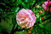 茶花之美:2013坪林粗石斛茶花園18