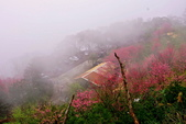 三峽賞櫻超級秘境B區:2015霧裡看花花還是花101