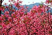 三峽賞櫻超級秘境A區:2015年開到爆炸美到翻125