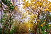 彰化縣---二水鄉:豐柏廣場2015黃花風鈴木盛開8
