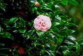 茶花之美:2013坪林粗石斛茶花園9