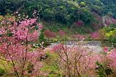 三峽賞櫻超級秘境B區:2014三峽超級賞櫻秘境B區88