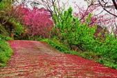 三峽賞櫻超級秘境B區:2015霧裡看花花還是花137