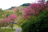 三峽賞櫻超級秘境B區:2014三峽超級賞櫻秘境B區39