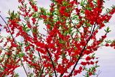 三峽賞櫻超級秘境B區:2015霧裡看花花還是花140
