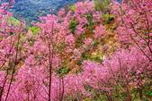 三峽賞櫻超級秘境A區:2015年開到爆炸美到翻55