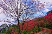 三峽賞櫻超級秘境B區:2015霧裡看花花還是花145
