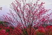 三峽賞櫻超級秘境B區:2015霧裡看花花還是花87